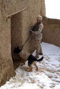518px-Working_dog_in_Afghanistan,_wearing_a_bulletproof_vest,_clears_a_building